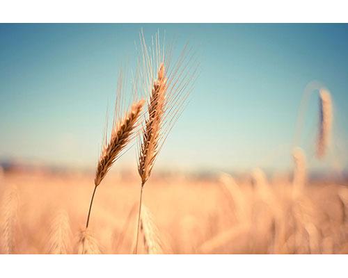Korn - symbol på yoga eneundervisning.